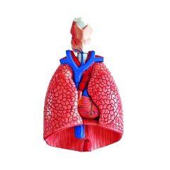 Anatominis modelis – KRŪTINĖS ORGANAI