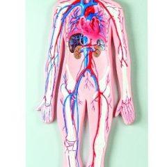 Anatominis modelis – 3D kraujagyslių sistema
