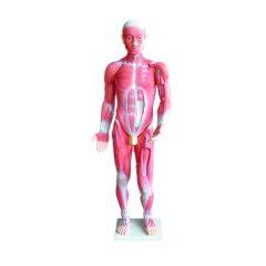 Anatominis modelis – Žmogaus raumenų sistema, 85 cm