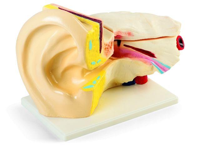 Anatominis modelis – AUSIS